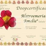 Doop certificaat Tijgerlelie Alstoemeria Amelie