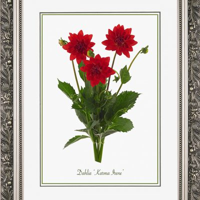 Brede, zilverkleurige lijst met florale motieven, en een afbeelding in A3 formaat, van een Dahlia Karma Irene
