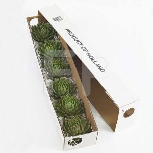 Echeveria groen deksel