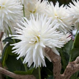 Floriade Dahlia