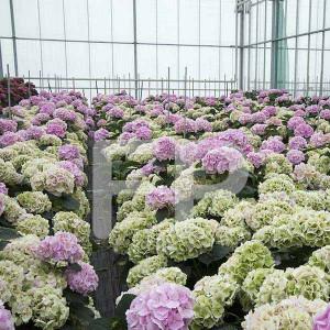 Hydrangea roze-groen