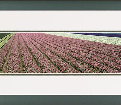 Aluminium panorama lijst met een bloeiende krokus veld in de bollenstreeek.