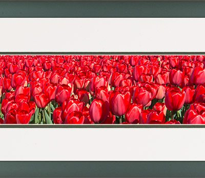 Aluminium lijst, detail bloeiende rode tulpen in het veld