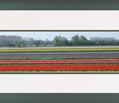 Aluminium lijst, panorama afbeelding van een bloeiend tulpen veld, rood en roze en violet