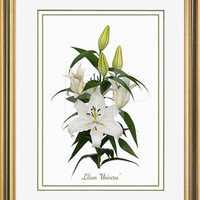 Middelbrede, goudkleurig en groen en witte lijst met een afbeelding in A3 formaat, van een Lelie Lilium Universe