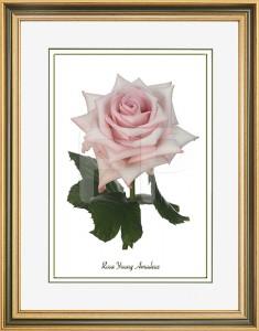 Middelbrede, goudkleurig met groen en witte lijst en een afbeelding in A3 formaat, van een Roos Young Amadeus