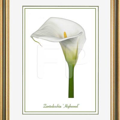 Middelbrede goudkleurig, groen en witte lijst met een afbeelding in A3 formaat, van een Calla Zantedeschia Highwood