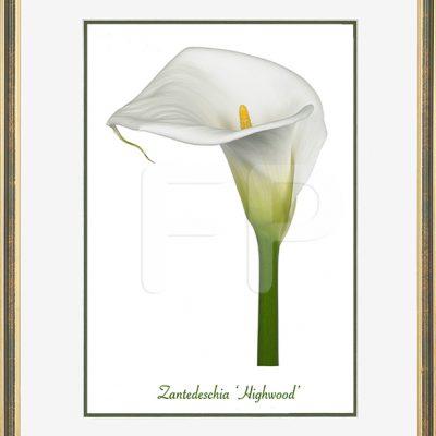 Budget smalle, goudkleurig en groene lijst met een afbeeling in A4 formaat, van een Calla Zantedeschia Highwood