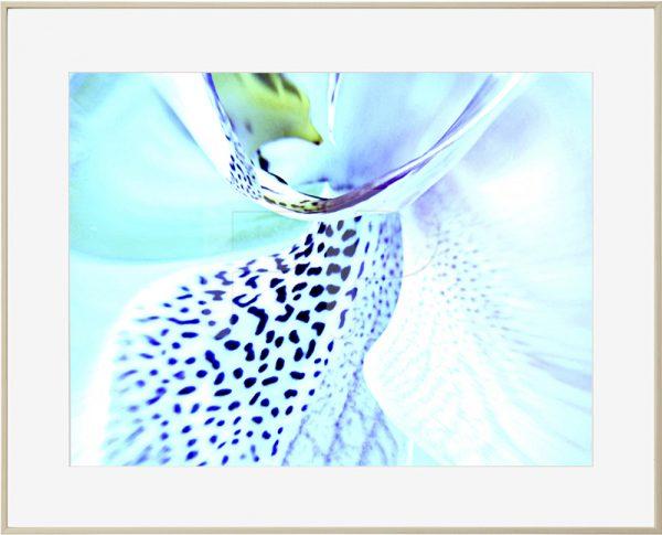 Aluminium houtkleurige lijst met een detail van een bloem in groenblauwe en violette tinten, Tender Tango Orchid