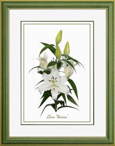 Middelbrede, groene lijst met een afbeelding in A3 formaat, van een Lelie Lilium Universe