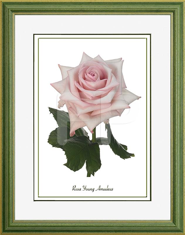 Middelbrede, groene lijst met een afbeelding in A3 formaat, van een Roos Young Amadeus