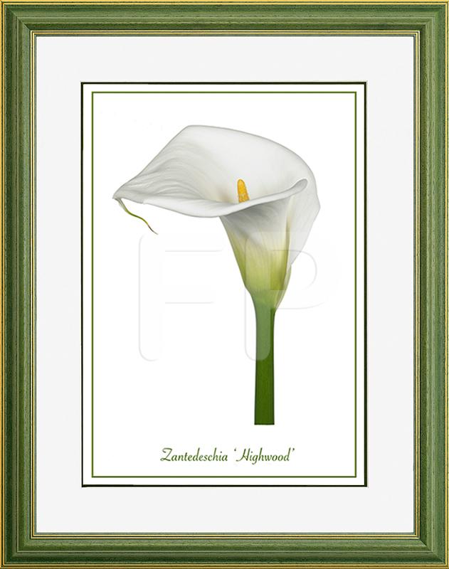 Middelbrede, groene lijst met een afbeelding in A3 formaat, van een Calla Zantedeschia Highwood