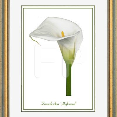 Middelbrede, goudkleurig en groene lijst met een afbeelding in A3 formaat, van een Calla Zantedeschia Highwood
