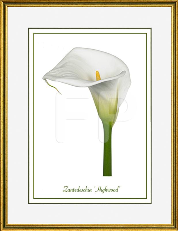 Smalle , groen en goudkleurige lijst met een afbeelding in A3 formaat, van Calla Zantedeschia Highwood