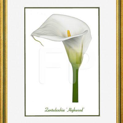 Smalle, goudkleurig met groene band lijst met een afbeelding in A4 formaaat, van een Calla Zantedeschia Highwood