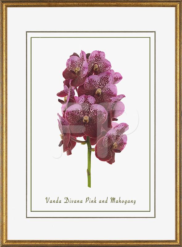 Smalle, goudkleurig gespikkelde lijst met een afbeelding in A3 formaat, van een Orichidee Vanda Pink and Mahogany