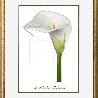 Smalle, gespikkeld goudkleurige lijst met een afbeelding in A4 formaat, van een Calla Zantedeschia Highwood
