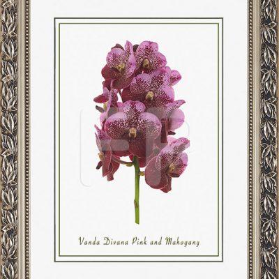 Brede, zilverkleurige lijst met blad motieven en een afbeelding in A3 formaat, van een Orichidee Vanda Divana Pink and Mahogany