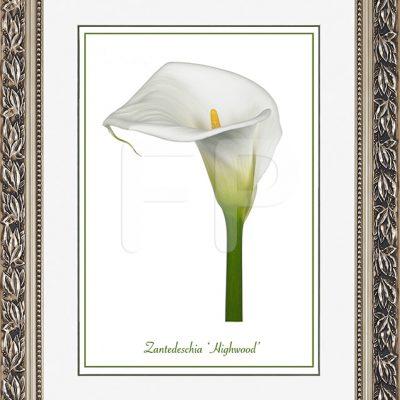Brede zilverkleurige lijst met blad motieven en een afbeelding in A3 formaat, van een Calla Zantedeschia Highwood