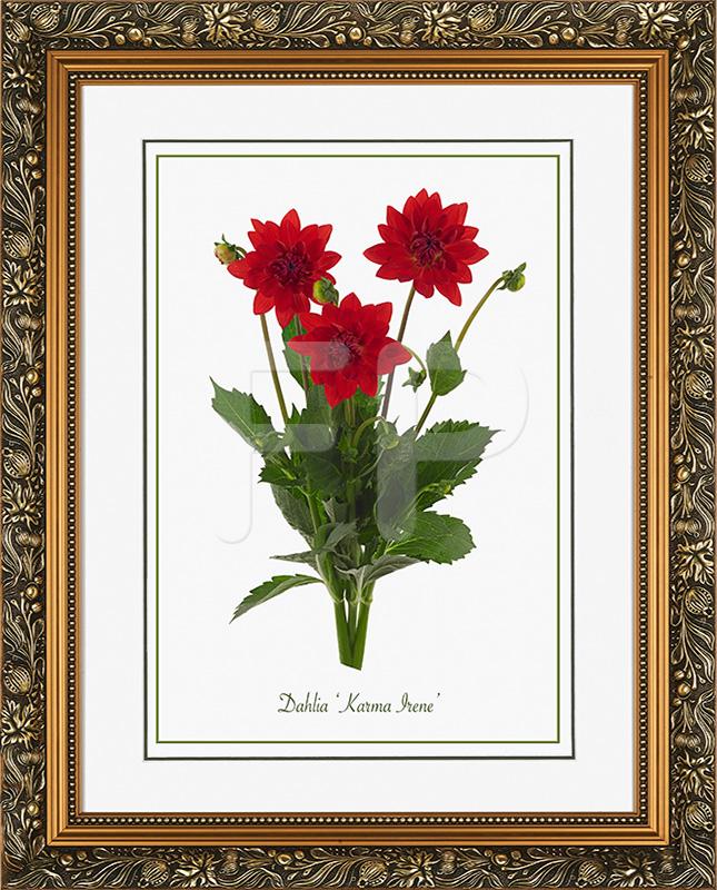 Brede, goudkleurige lijst met florale motieven en een afbeelding in A3 formaat, van een Dahlia Karma Irene