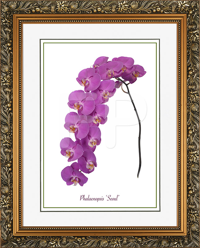 Brede, goudkleurige lijst met florale motieven en een afbeelding in A3 formaat, van een Orichidee Phalaenopsis Seoul