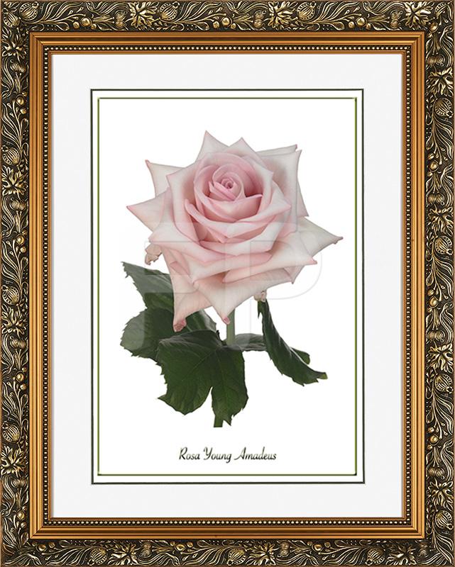 Brede, goudkleurige lijst met florale motieven en een afbeelding in A3 formaat, van een Roos Young Amadeus