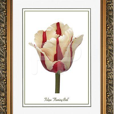 Brede goudkleurige lijst met florale motieven en een afbeelding in A3 formaat, van een Tulp Flaming Bird
