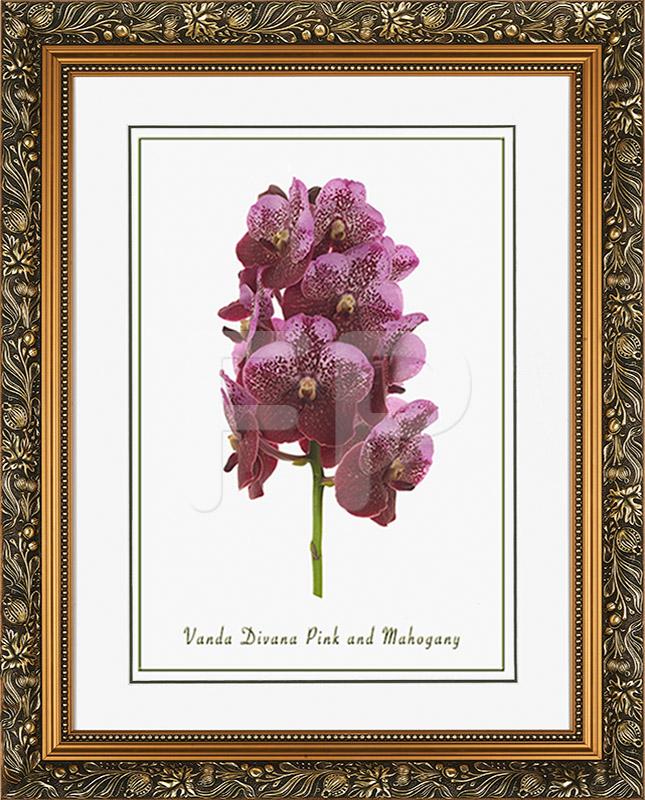 Brede goudkleurige lijst met florale motieven en een afbeelding in A3 formaat, van een Orichidee Vanda Divana Pink and Mahogany