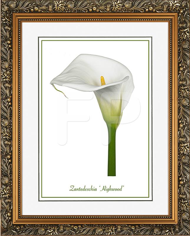 Brede goudkleurige lijst met florale motieven en een afbeelding in A3 formaat, van Calla Zantedeschia Highwood