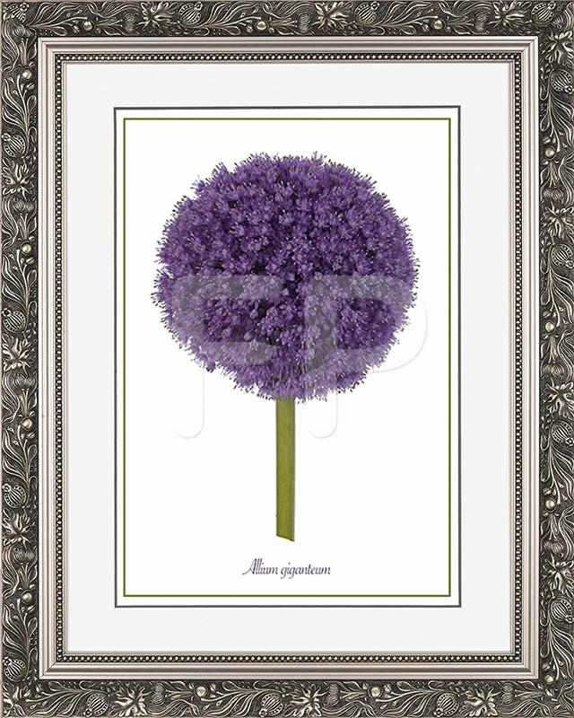 Brede, zilverkleurige lijst met florale motieven en een afbeelding in A3 formaat, van een bloeiende Ui