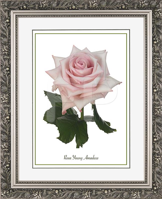 Brede, zilverkleurige lijst met florale motieven en met een afbeelding in A3 formaat, van een Roos Young Amadeus