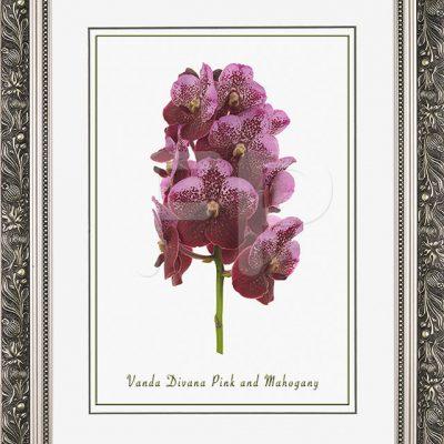Brede, zilverkleurige lijst met florale motieven en een afbeelding in A3 formaat, van een Orichidee Vanda Pink and Mahogany