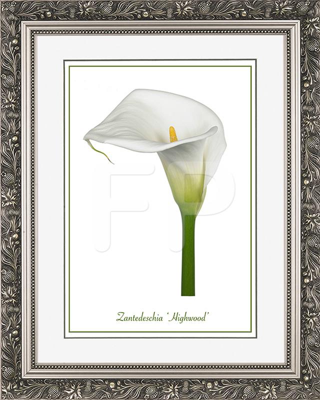 Brede zilveren lijst met florale motieven en een afbeelding in A3 formaat, van een Calla Zantedeschia Highwood