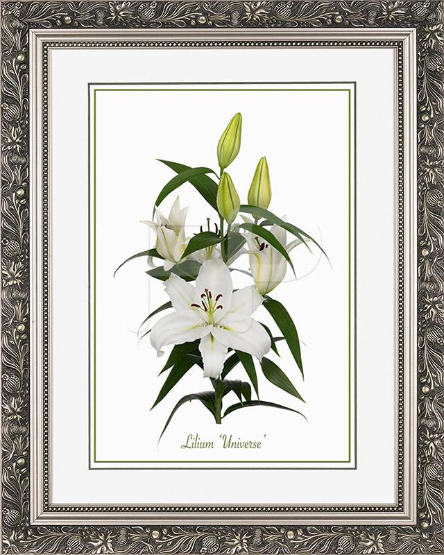 Brede, zilverkleurige lijst met florale motieven en een afbeelding in A3 formaat, van een Lelie Lilium Universe