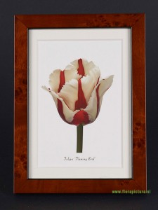 Tulipa Flaming Bird, wortelnoten lijst, 10 x 15cm