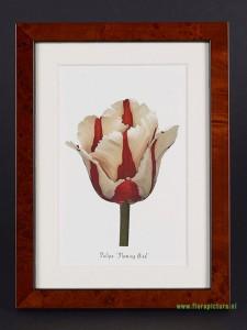 Tulipa Flaming Bird, wortelnoten lijst, 13 x 18 cm
